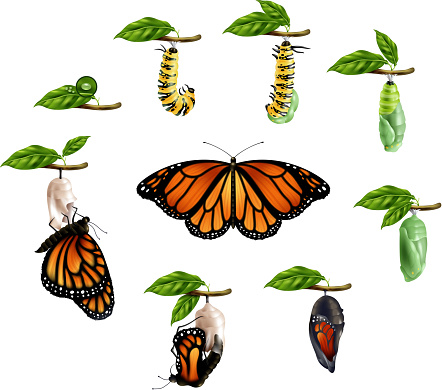 realistic life cycle butterfly