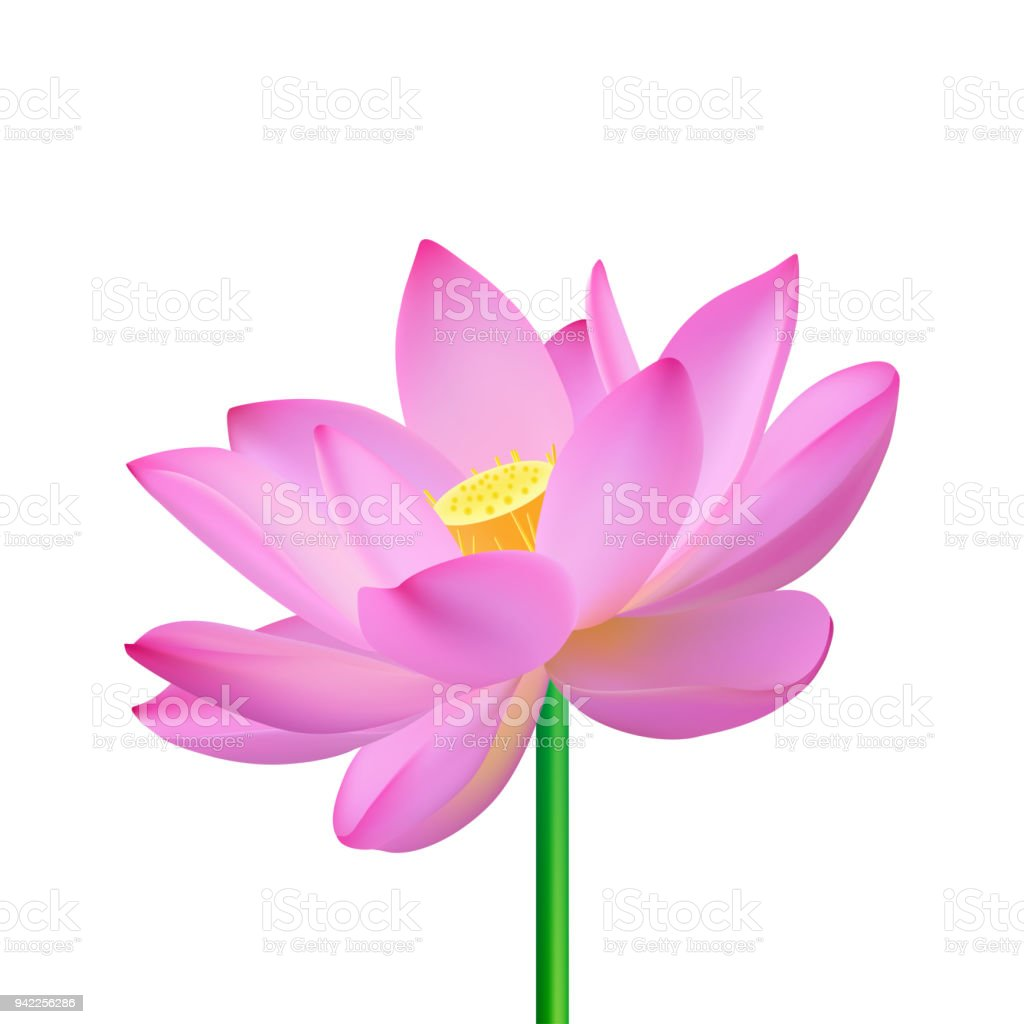 Realistic Opened Pink Flower Of An Oriental Lotus On A White