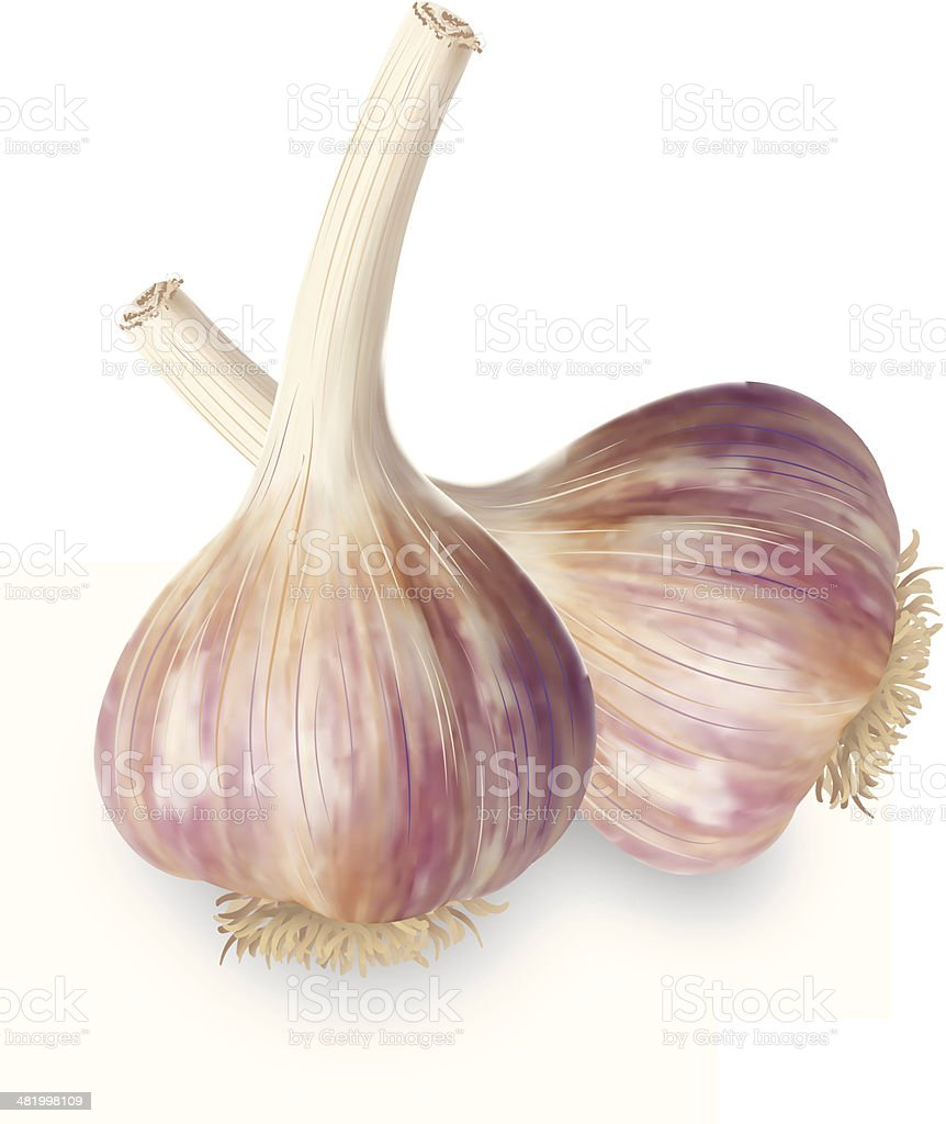 Realistic Organic Garlic vector art illustration