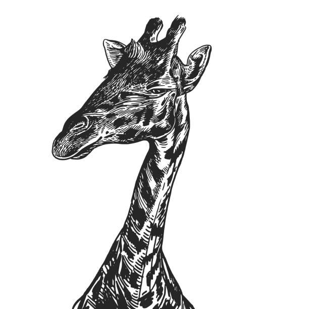 realistisches bild der afrikanischen tier giraffe. vintage-gravur. schwarz / weiß handzeichnung. vektor - giraffenhumor stock-grafiken, -clipart, -cartoons und -symbole