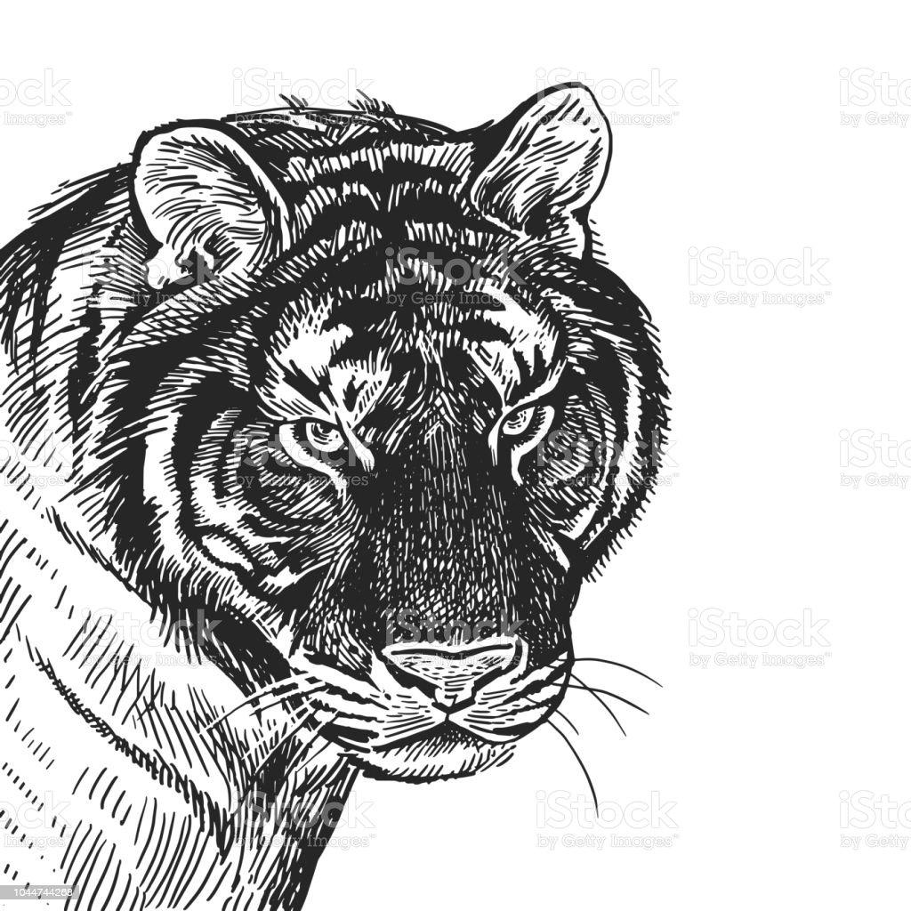 Portrait Réaliste De African Animal Tigre Gravure De Vintage Dessin
