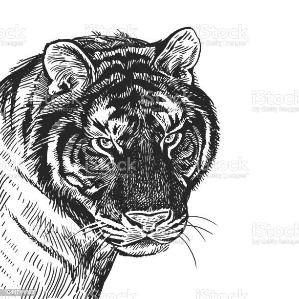 Realistic portrait of african animal tiger vintage engraving black vector id1044744268?b=1&k=6&m=1044744268&s=612x612&h=stosoobo028 eyqud4rgpno6in9pmluyc0hx7ykagcy=
