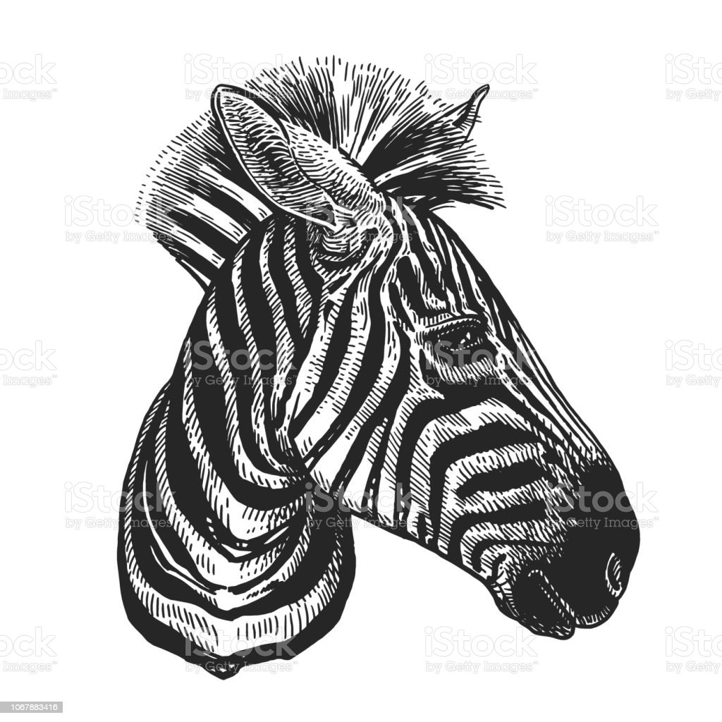 Realistic portrait of African animal Zebra. Vintage engraving. Black and white hand drawing. Vector vector art illustration