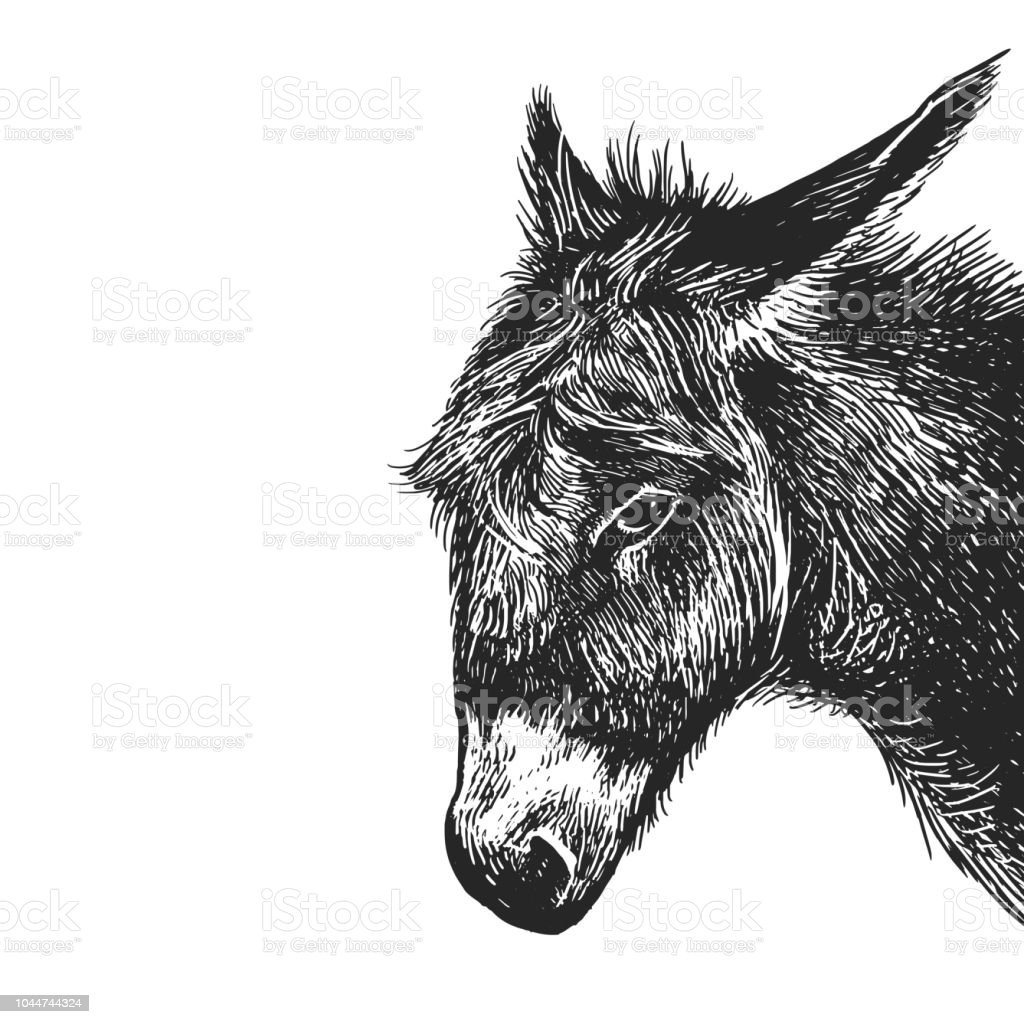 Realistic portrait of farm animal Donkey. Vintage engraving. Black and white hand drawing. Vector - illustrazione arte vettoriale