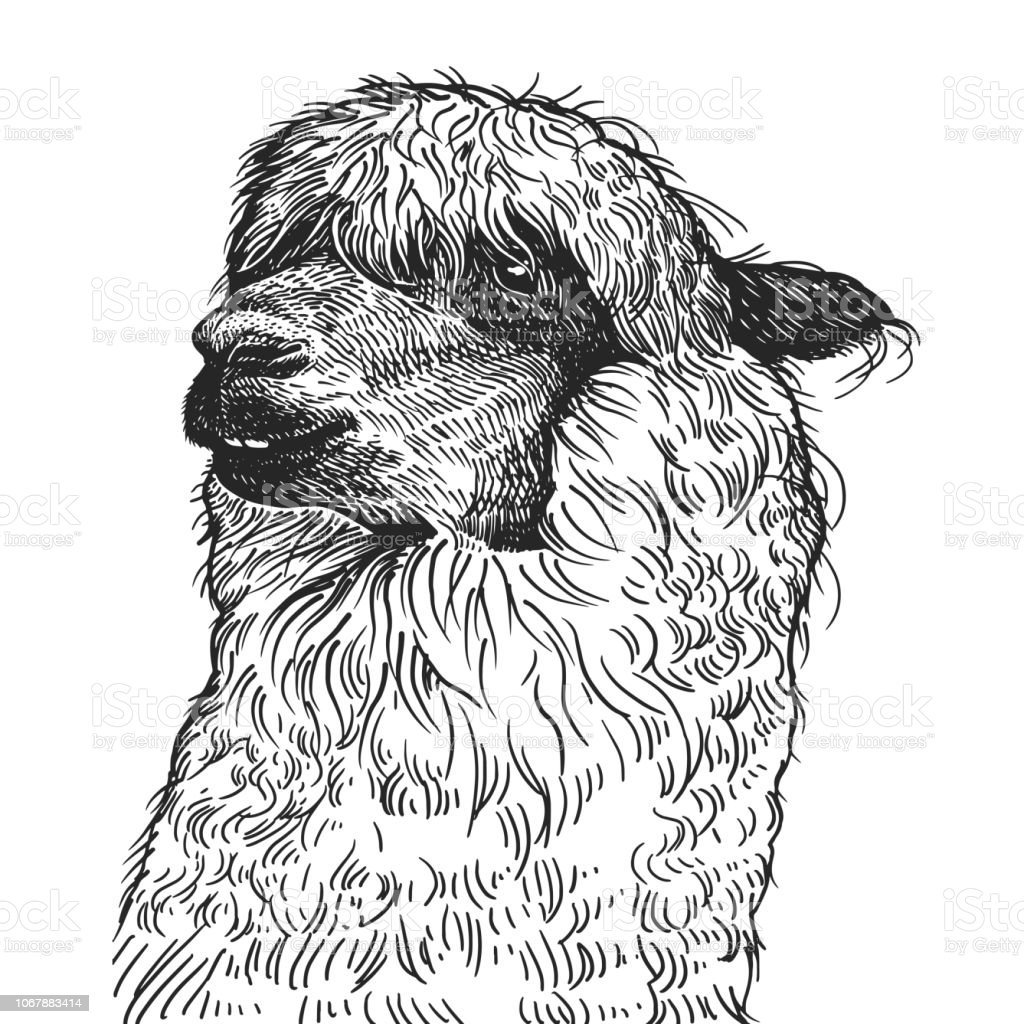 Realistic portrait of South American animal Lama. Vintage engraving. Black and white hand drawing. Vector vector art illustration