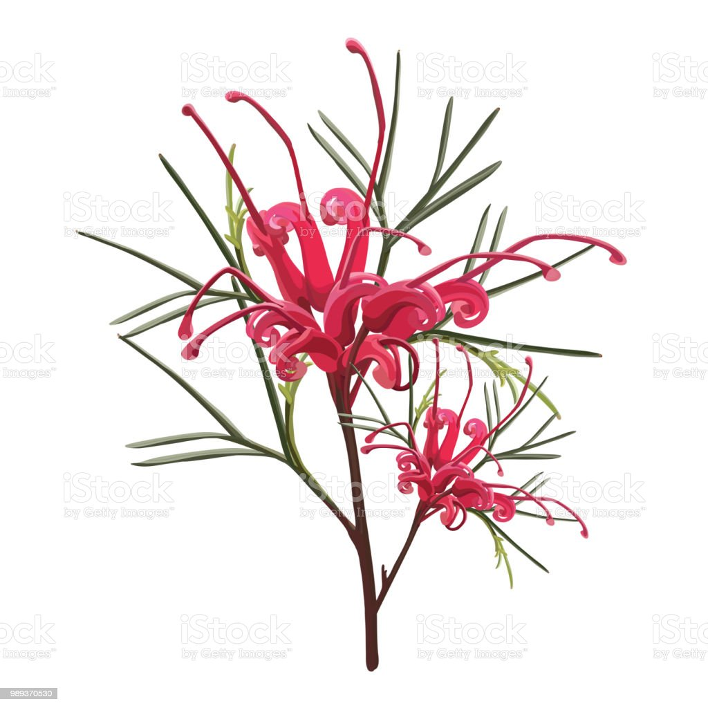 Realistic Red Grevillea Flower vector art illustration