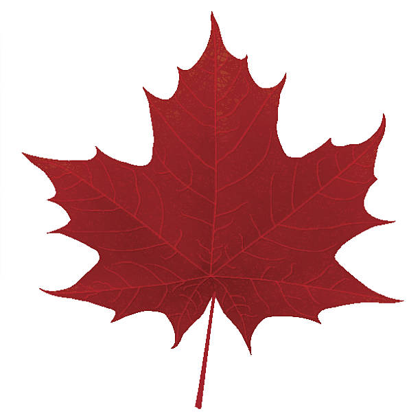 Realistic red maple leaf isolated on white background Realistic red maple leaf isolated on white background. Vector eps10 illustration with transparency effects: Blending modes maple leaf stock illustrations