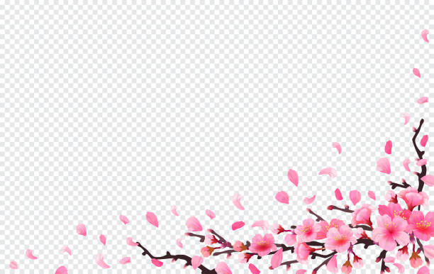 Realistic sakura japan cherry branch Realistic sakura japan cherry branch with blooming flowers. Spring fresh pink design on transparent background. flying downwind petals on wind. Vector illustration stock vector. flowerbed stock illustrations