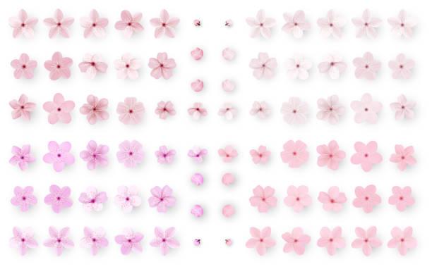 リアルな桜や桜。日本の春の花であるサクラ。ピンクの桜の花。 - 桜点のイラスト素材/クリップアート素材/マンガ素材/アイコン素材