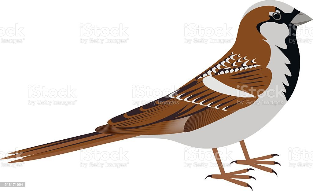 royalty free house sparrow clip art vector images illustrations rh istockphoto com sparrow clipart png sparrow clipart black and white