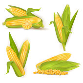 Realistic sweet corn set, vector illustration isolated on white background. Ripe golden corn cobs and grains. Maize harvest, food industry, farming.