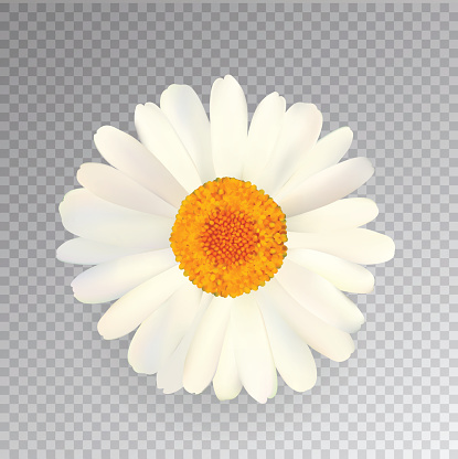 Realistic Vector Chamomile Icon. Transparent Background