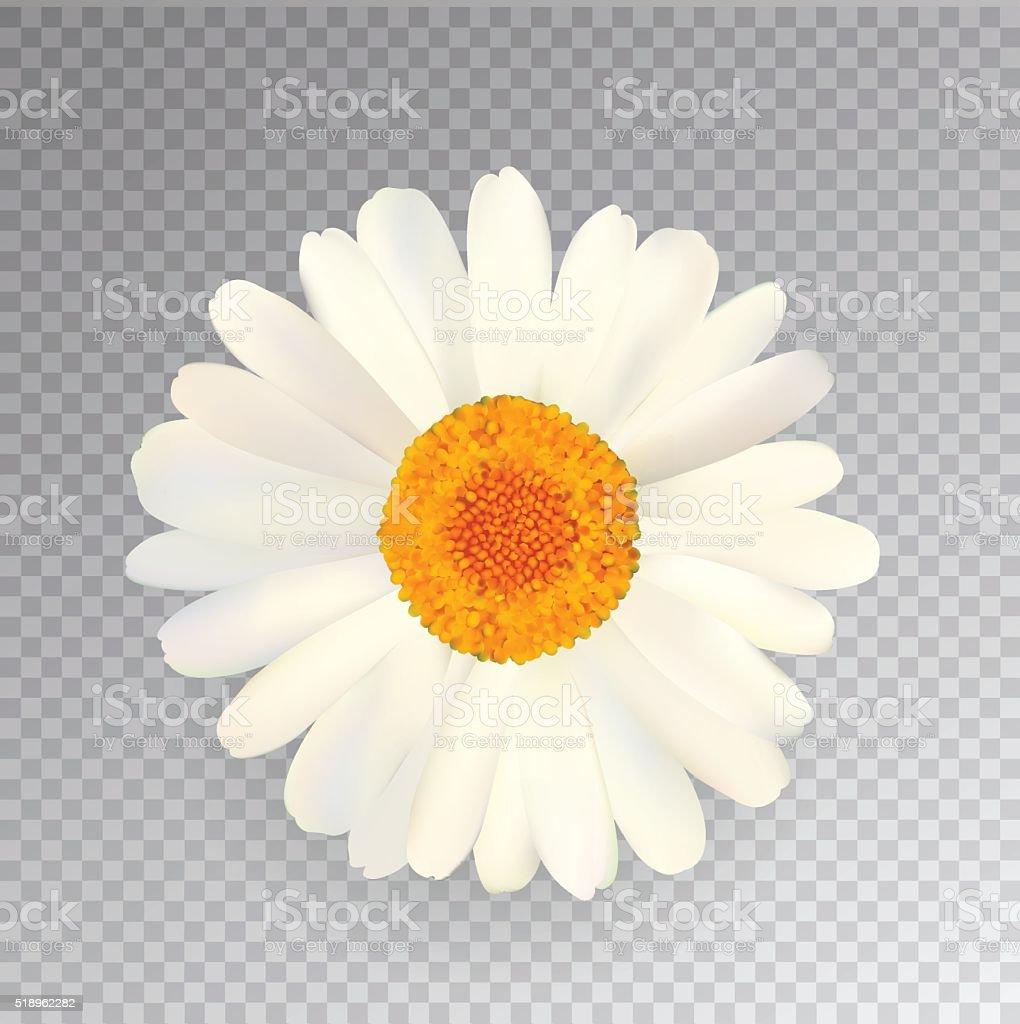 Realistic Vector Chamomile Icon. Transparent Background vector art illustration
