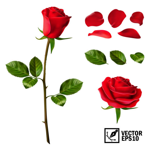 Realistic vector elements set of red roses (petals, leaves, bud and an open flower) with the ability to change the appearance of the flower, as in the constructor Realistic vector elements set of red roses (petals, leaves, bud and an open flower) with the ability to change the appearance of the flower, as in the constructor rose flower stock illustrations