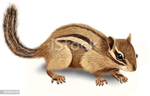 Vector Illustration. Realistic cute chipmunk illustration, isolated on white background.