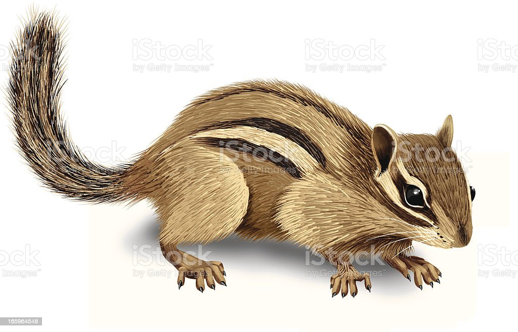 royalty free eastern chipmunk clip art vector images rh istockphoto com chipmunk clipart free chipmunk clipart black and white