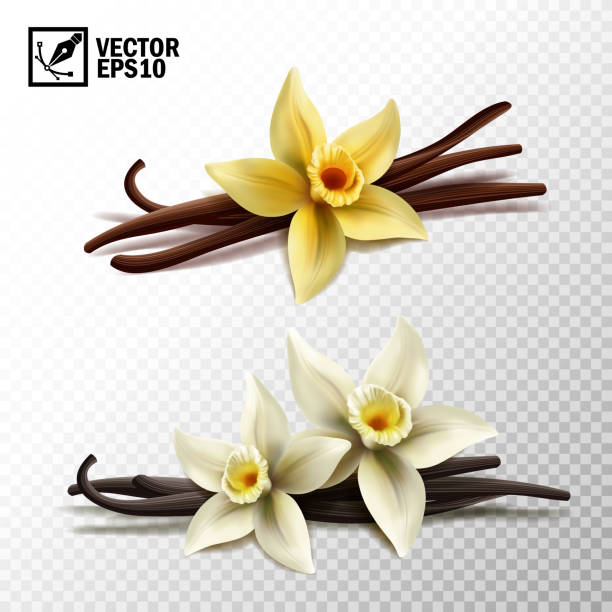 realistic vector isolated vanilla sticks and vanilla flowers in yellow and white - plant pod stock illustrations
