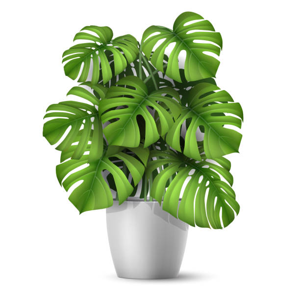 Realistic vector Monstera in a pot. Monstera in a pot. Tropical plant for interior decor of home or office. Vector illustration in vector realistic 3d style. potted plant stock illustrations