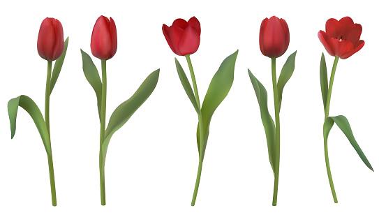 realistic vector tulips