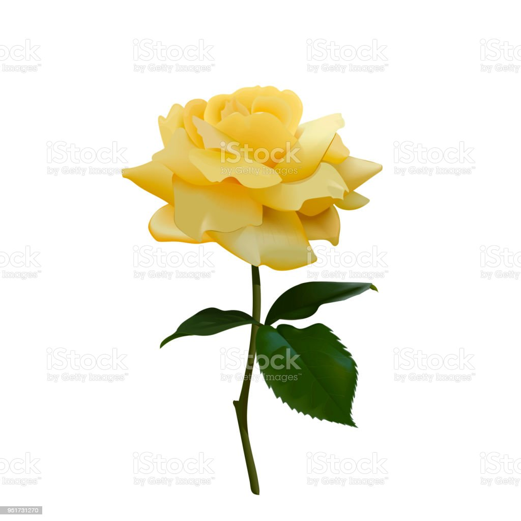 Realistic Vector Yellow Rose Or Tea Rose Or China Rose Petals Leaves Open Flower Twig Idea For Logo Perfumery Cosmetics Stock Illustration Download Image Now Istock