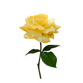 Realistic vector yellow rose or tea rose or China rose petals, leaves open flower, twig. Idea for logo, perfumery, cosmetics