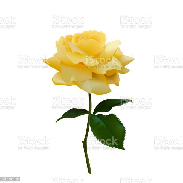 Realistic vector yellow rose or tea rose or china rose petals leaves vector id951731270?b=1&k=6&m=951731270&s=612x612&h=pg3aqffh7yepxyvkghlazlbwy3tel0zh3rjf0apfgmq=