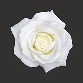 Realistic white rose, vector illustration