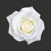 Realistic white rose, vector illustration on black background