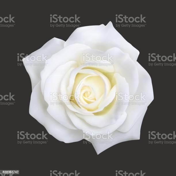 Realistic white rose vector illustration vector id838363742?b=1&k=6&m=838363742&s=612x612&h=hj3bhyjhl11bc5huk2n5iwpw2tt46xoz5np tdtqubu=