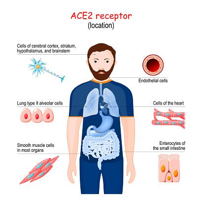 ACE2 receptor location