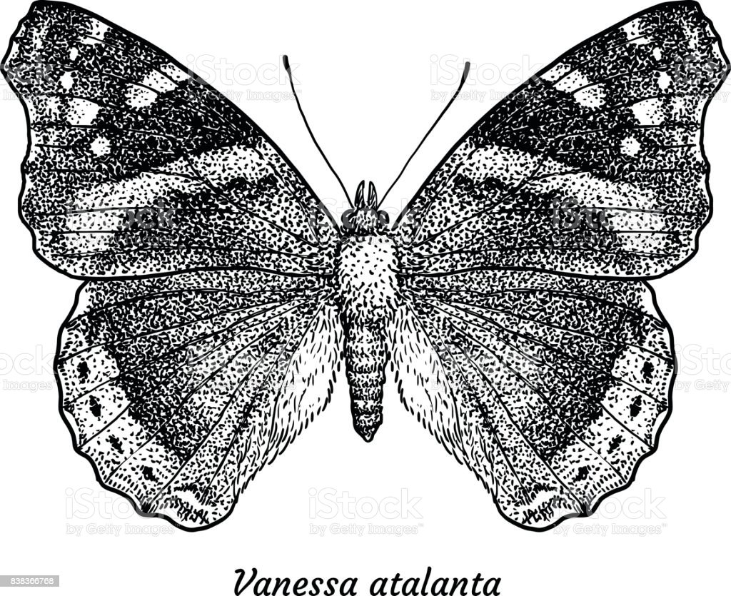 red admiral butterfly illustration drawing engraving ink line art