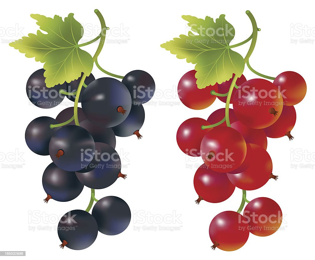 Red and black currants vector art illustration