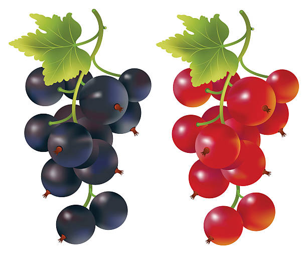 Red and black currants Vector illustration of red and black currants.  black currant stock illustrations