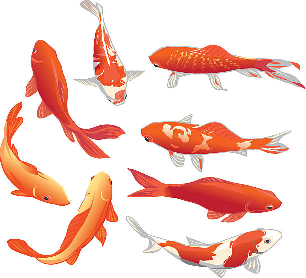 Royalty free koi carp clip art vector images for Fraie carpe koi