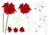 Red and White Amaryllis Outline - Hippeastrum. Christmas Flower. Vector Illustration. isolated on White Background.