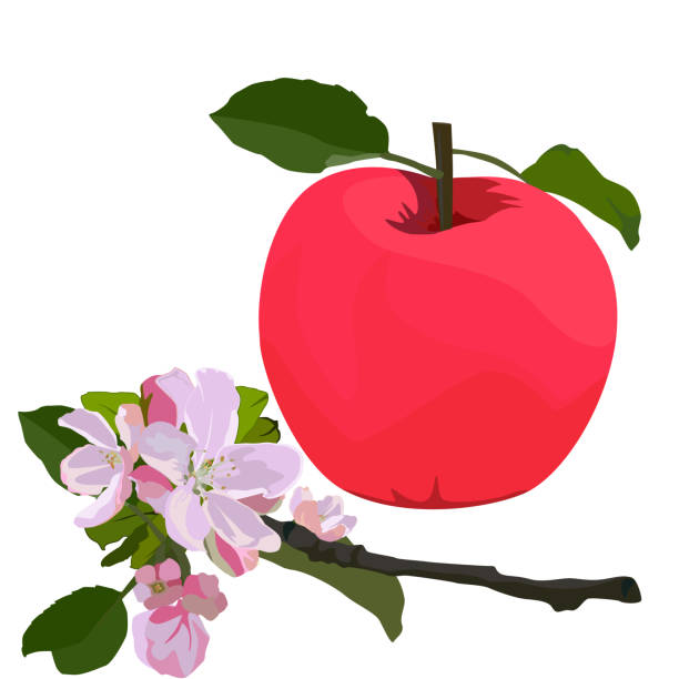 Red apple and branch in blossom, vector flat isolated illustration Red apple and apple tree branch in blossom, vector flat style design illustration isolated on white background. apple blossom stock illustrations
