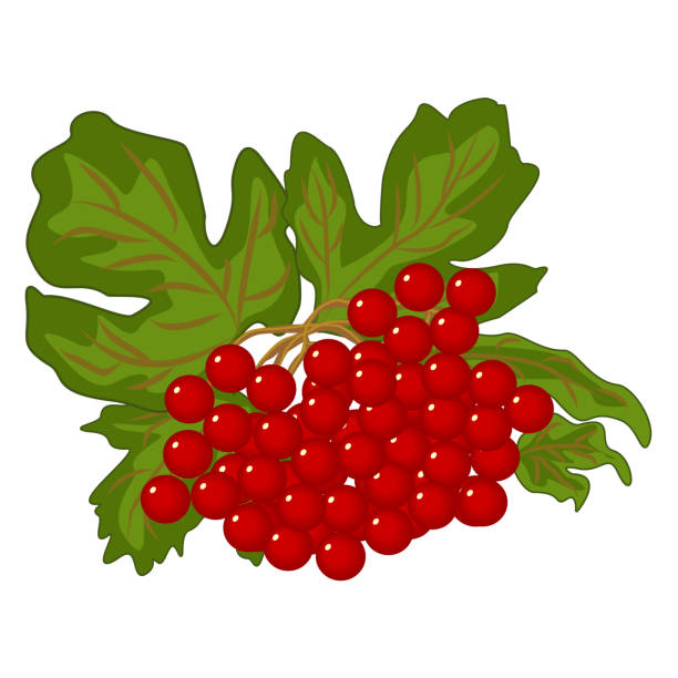 Red berries of viburnum with green foliage - vector clipart vector art illustration