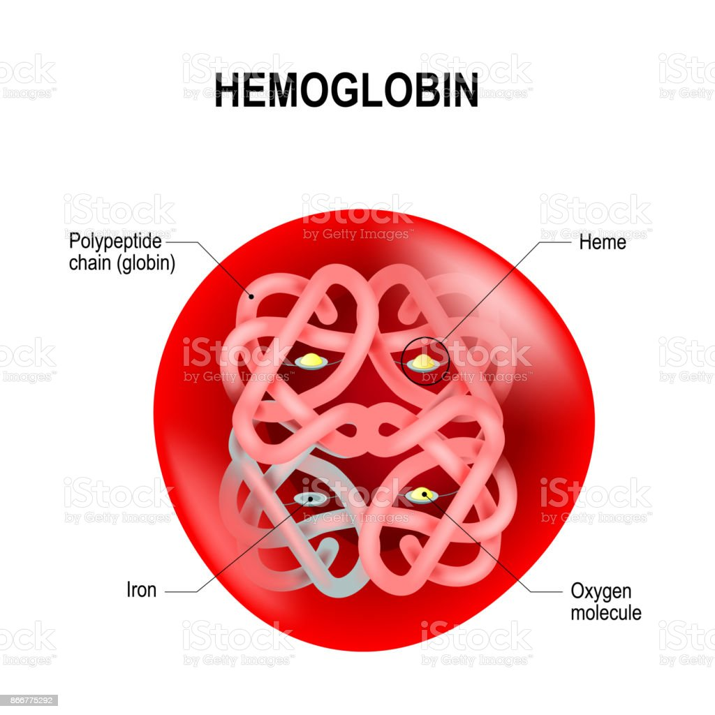 Red blood cell with hemoglobin. vector art illustration