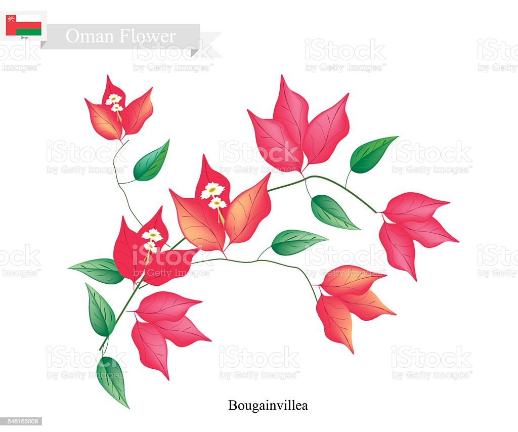 Red Bougainvillea Flowers, The Native Flower of Oman - ilustración de arte vectorial