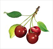Red Cherries on a Branch. Vector