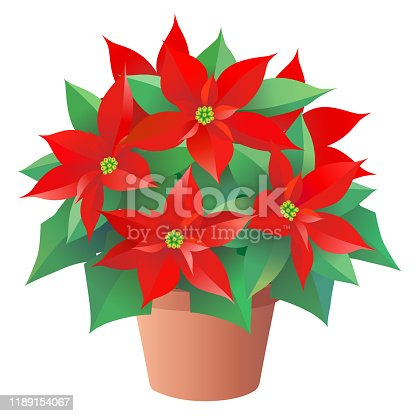 istock Red Christmas flower, Poinsettia in pot, isolated on the white background 1189154067