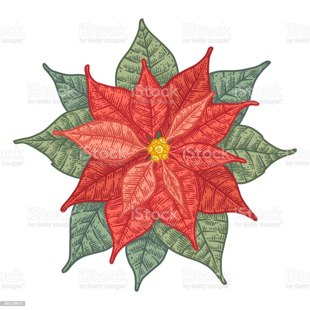 Red Christmas Hand Drawn Poinsettia Flower Stock Vector Art & More ...