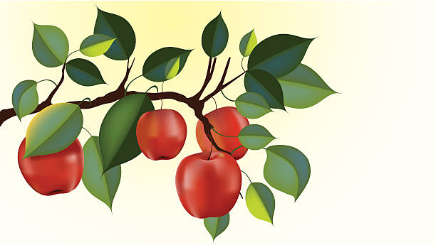 red delicious apple branch  picking harvesting stock illustrations