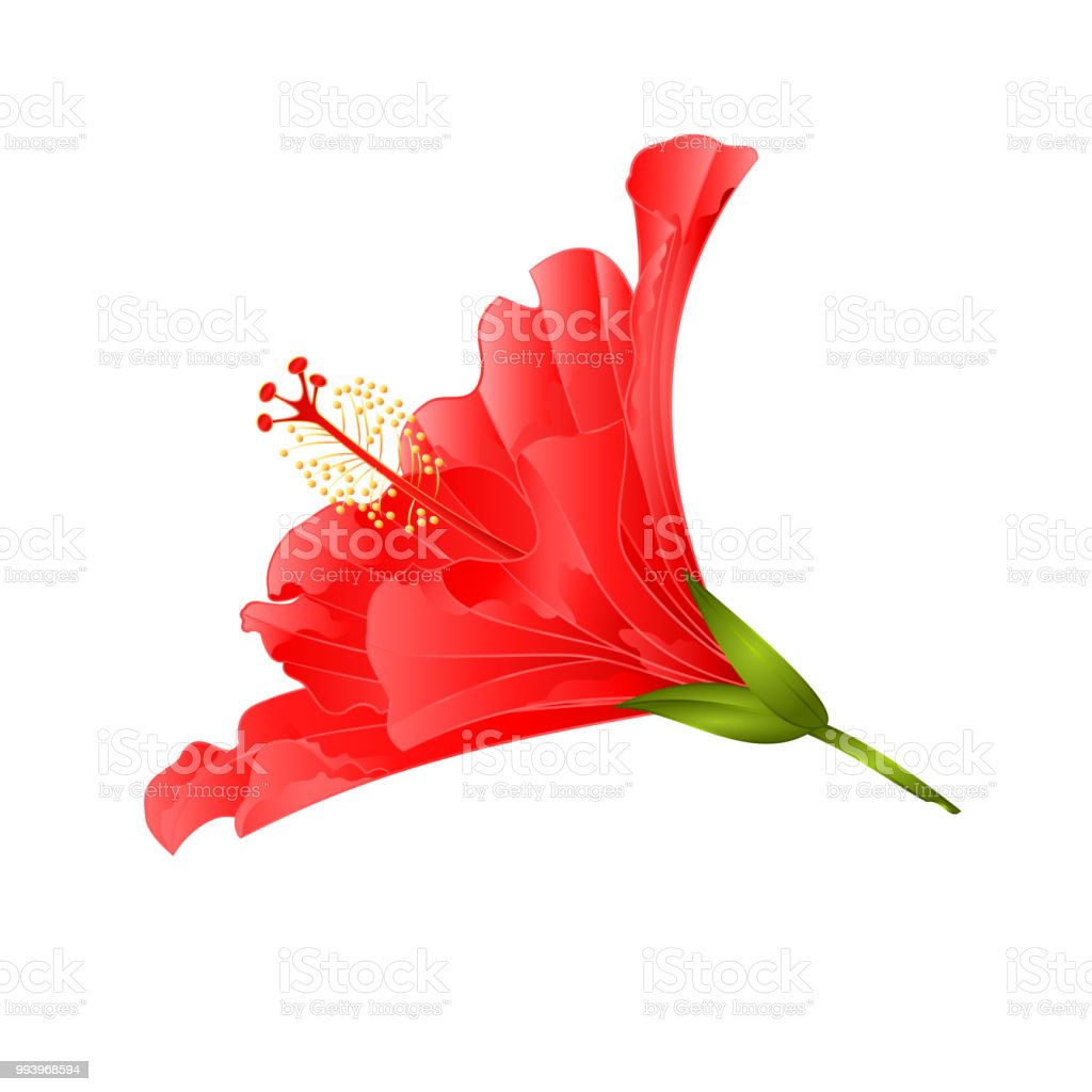 Red Flower Tropical Plant Hibiscus On A White Background Vintage