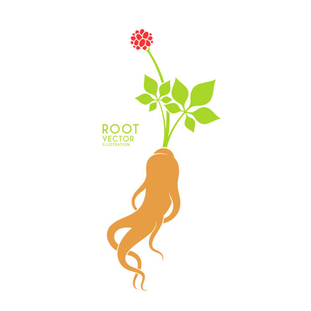 Red ginseng. Vector illustration. Ginseng root leaf and berries on white background Vector illustration (EPS) love potion stock illustrations