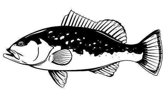 Red grouper fish illustration
