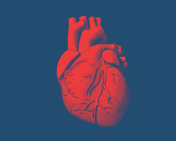 Red human heart drawing on blue BG Engraving drawing human heart in red color on blue background biomedical illustration stock illustrations