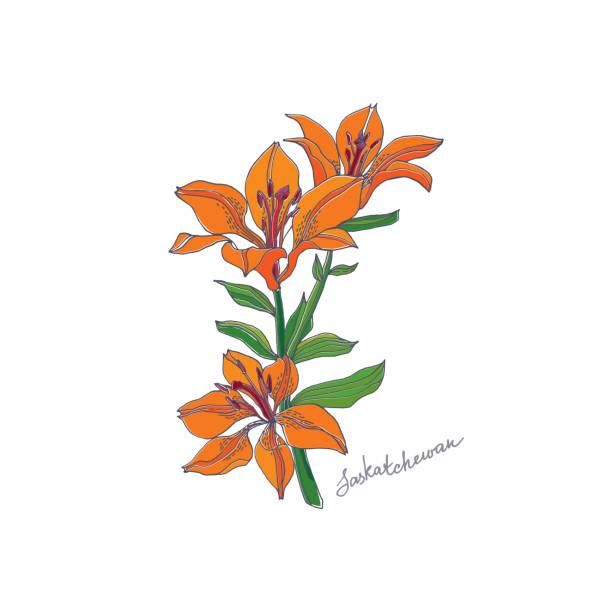Red Lily. Saskatchewan vector art illustration