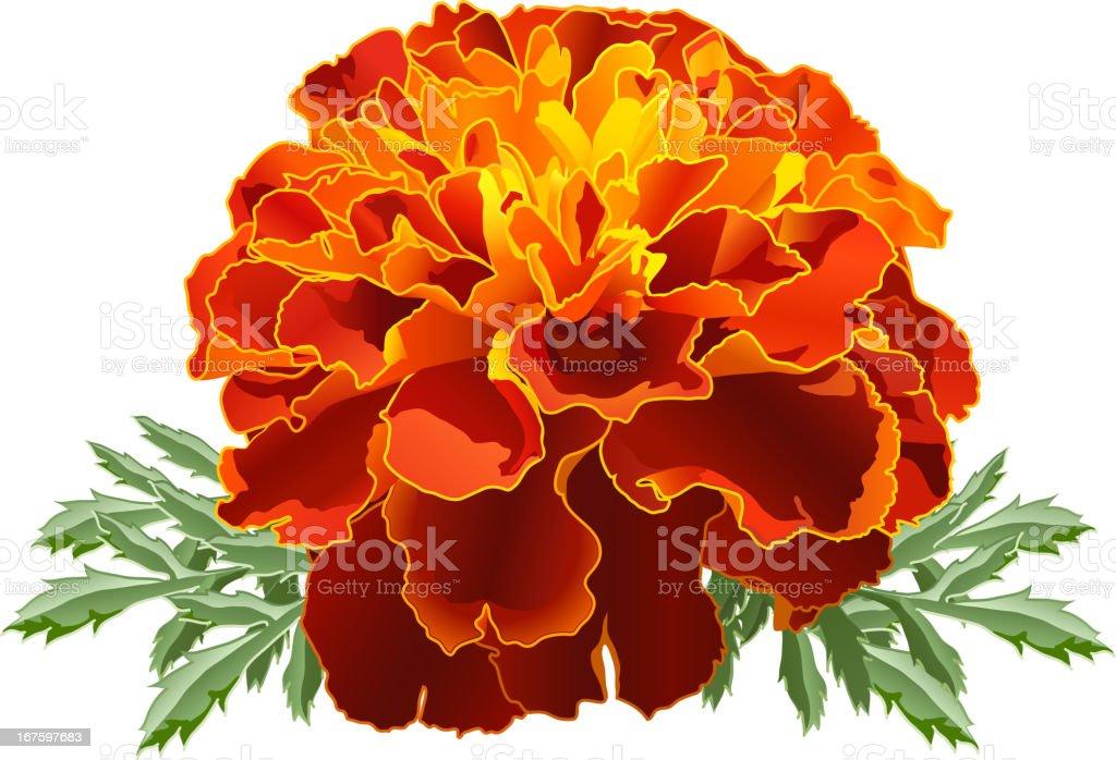 Red Marigold (Tagetes) royalty-free stock vector art