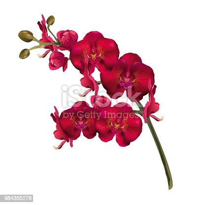 Red orchid flowers (Phalaenopsis). Realistic vector illustration isolated on white background.